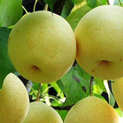 Daguoshuijing pear