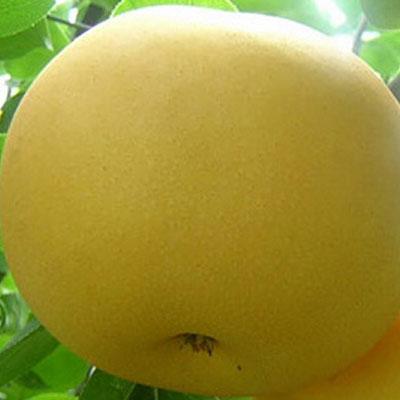 大果水晶梨
