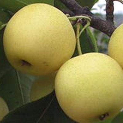 Singo pear